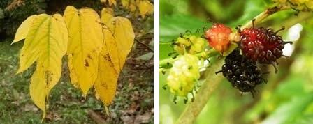 07a ヤマグワの黄葉と実.jpg