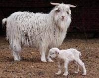 Cashmere Goat.jpg