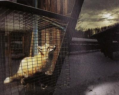 キツネの家畜化実験-1.jpg