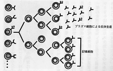 クローン選択説.jpg