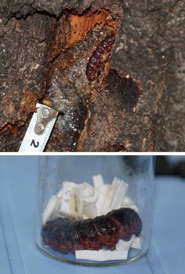 ボクトウガの幼虫.jpg