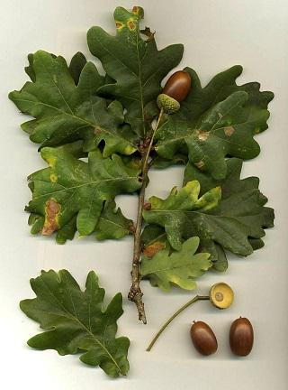 ヨーロッパナラの葉と実.jpg