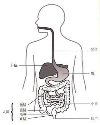 人の消化管.jpg