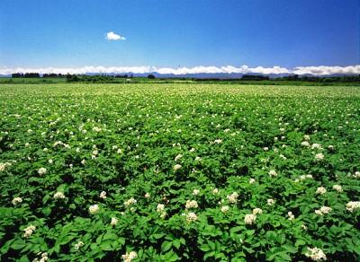 北海道更別村のジャガイモ畑.jpg