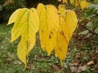 桑:ヤマグワの黄葉.jpg
