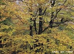 白神山地のブナ.jpg