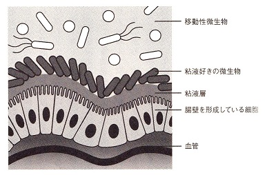 腸壁の構造.jpg