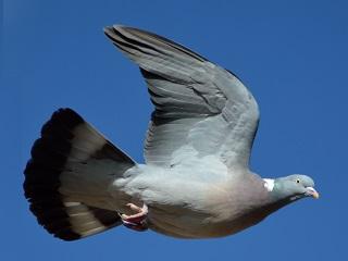 鳩(Wikimedia Commons).jpg
