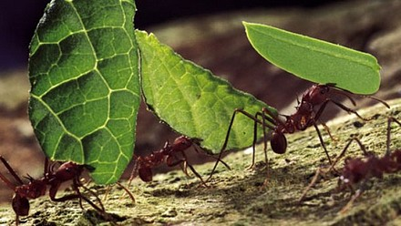 Leafcutter Ants-1.jpg