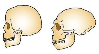 Neandertal vs Sapiens.jpg