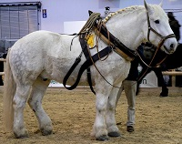 Percheron.jpg